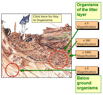 Soil formation living organisms for Things in soil